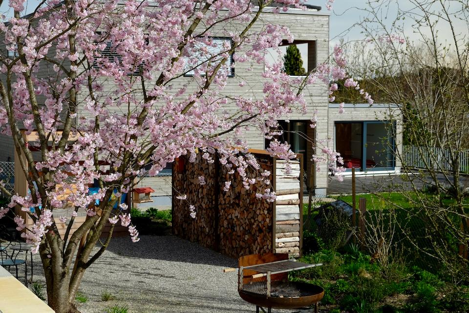 Winkler_Richard_Naturgarten_Zierkirsche_Prunus_Accolade_DSCF0002