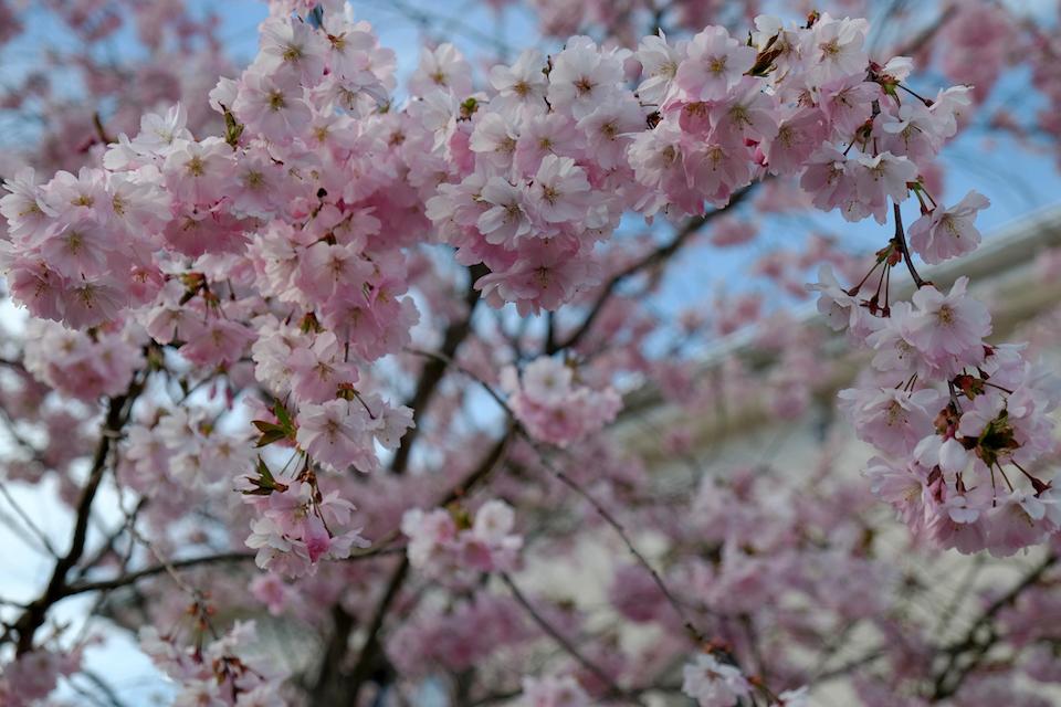 Winkler_Richard_Naturgarten_Zierkirsche_Prunus_Accolade_DSCF0010