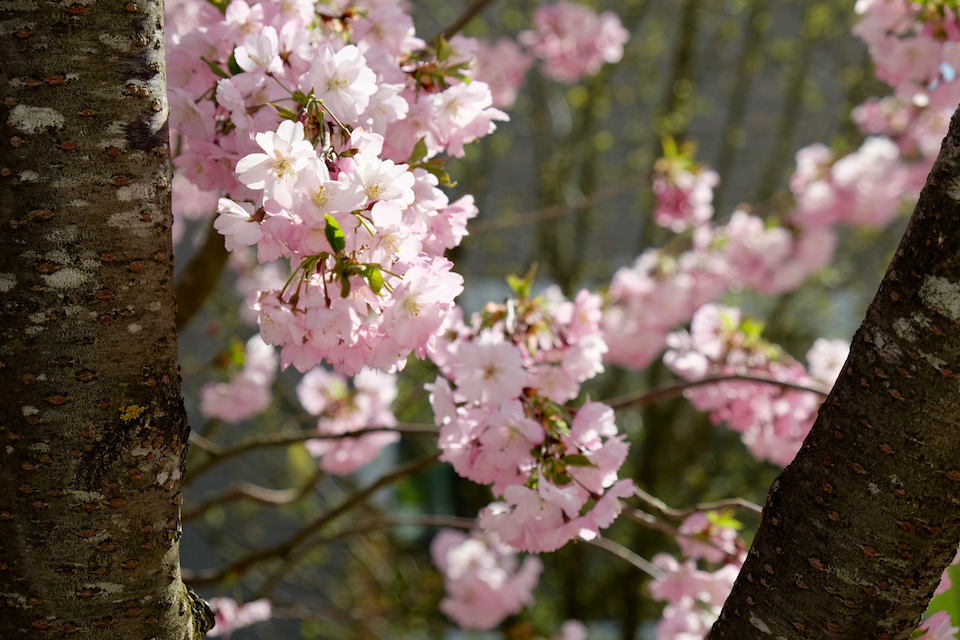 Winkler_Richard_Naturgarten_Zierkirsche_Prunus_Accolade_DSCF0019