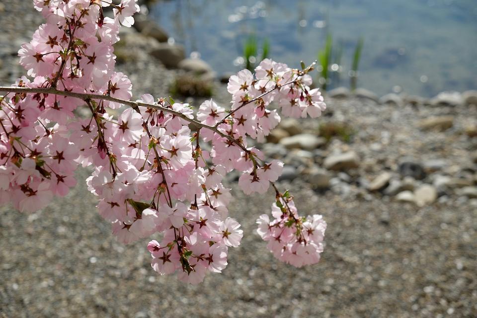 Winkler_Richard_Naturgarten_Zierkirsche_Prunus_Accolade_DSCF0020